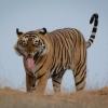 O1_Stephen Eberhardt_Benghal Tiger