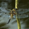 "Charlie Hawkins ""Four-spotted Chaser"""