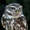 "Charlie Hawkins ""Little Owl"""